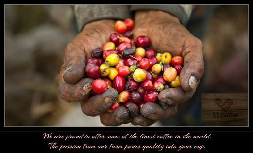 H Coffee lựa chọn những hạt Cafe chín mộng